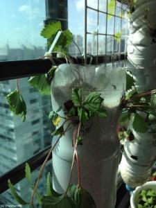 How to transplant strawberry plants
