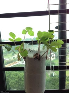 Stressed strawberry plants can recover