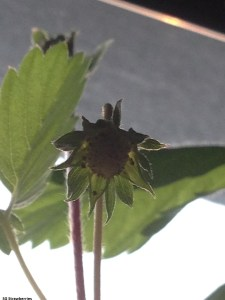 First stage of strawberry fruit development