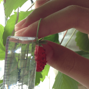 Picking Strawberries in Singapore