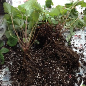 Transplanting strawberry plants