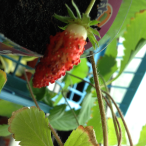 Growing and Picking strawberries indoors