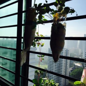 Growing strawberries from seeds in Singapore