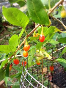 Growing wolfberry or gojiberries in Singapore