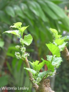 Grow a mulberry tree in Singapore