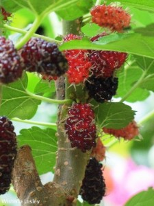 How to grow mulberries in Singapore
