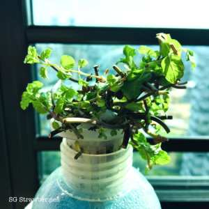 How to propagate mint from cutting