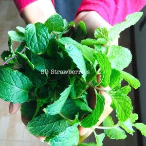 Grow mint from cutting in Singapore