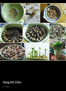 Preparing lemon seeds to germinate