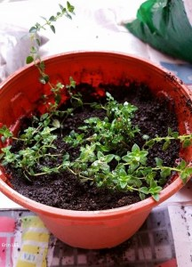 How to root thyme