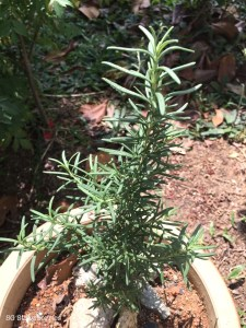Propagate rosemary cutting