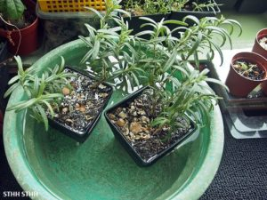 How to water rosemary plant