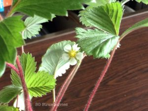 Grow Heirloom Pineapple Strawberries from seed