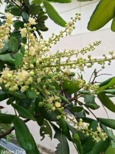 December 31 2015 - Jason Ong 's longan flowers