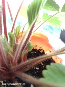 Grow Heirloom Pineapple strawberry