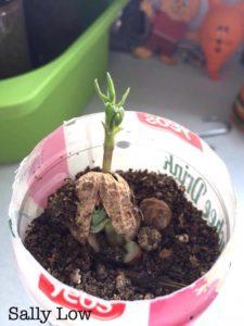 Grow peanut