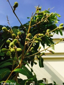 Griw longan tree in apartments