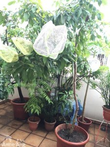 Grow a Longan Tree in apartment