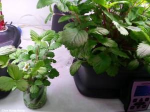 Germinate hydroponics Strawberries