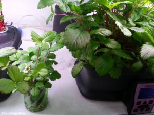 Germinate hydroponics Strawberries