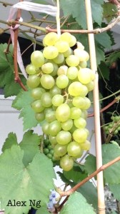 Grow grapes from cutting in Singapore