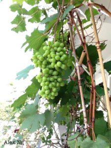 Grow grapes