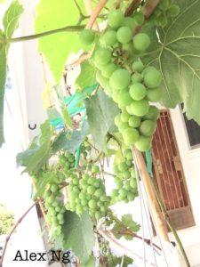 Grow grapes in SG corridor