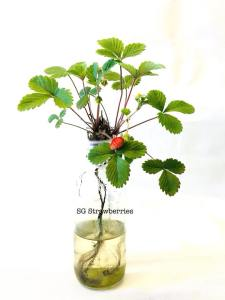 Grow strawberries without carbon footprint