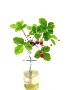Grow strawberries from seeds