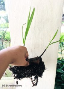 Home Grown Sugar Cane in Singapore