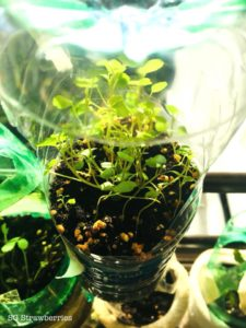 Grow water cress from seeds