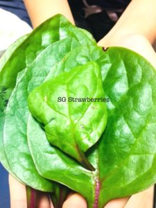 Malabar Spinach from seeds