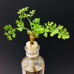 Grow Italian Flat Leaf or curly Parsley from seeds in containers