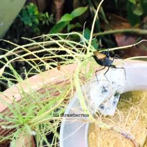 How to propagate Byblis by cutting and Care Tips
