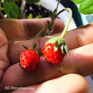 Grow Mignonette Strawberries from seeds in Singapore