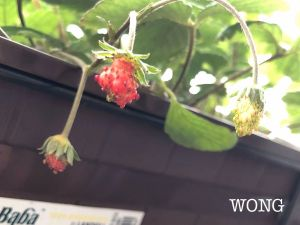 learn how to grow strawberries from seeds workshop