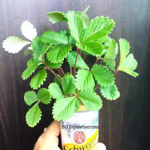 Grow White Soul strawberries from seeds in Singapore
