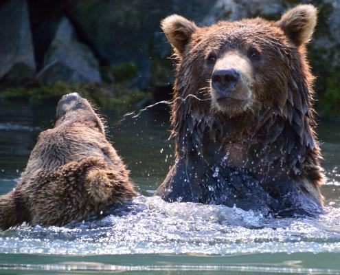 Alaska: lotta tra orsi