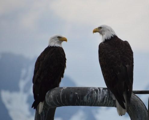 Alaska: aquile