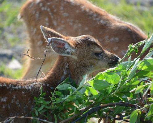 Alaska: bambi