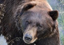 Alaska: sguardo del grizzlie