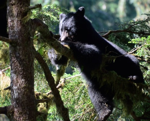 Alaska: orso sull'albero