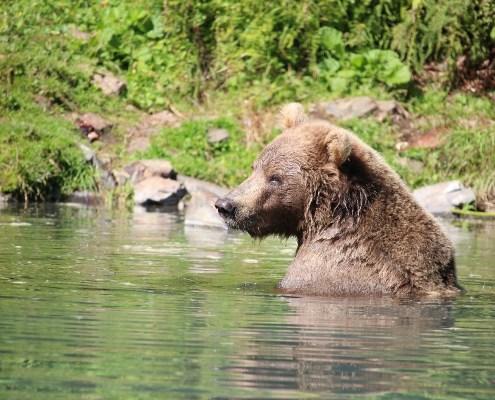Alaska: orso nell'acqua