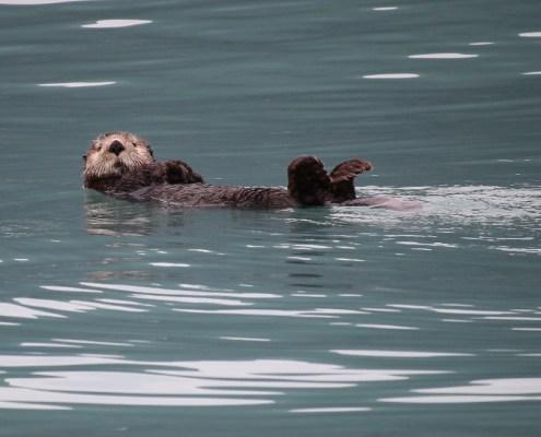 Alaska: lontra o sea otter