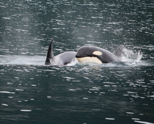 Alaska: orche nel Prince William Sound