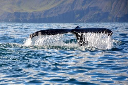 Islanda coda balena 7