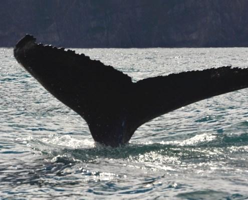 Islanda cosa balena 3