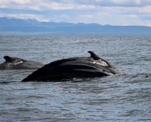Islanda dorso delle balene