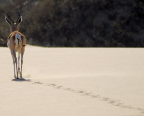 Namibia: Antilope sulle done.