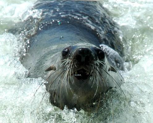 Namibia: foca curiosa